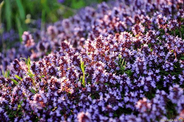На фото – цветет чабрец